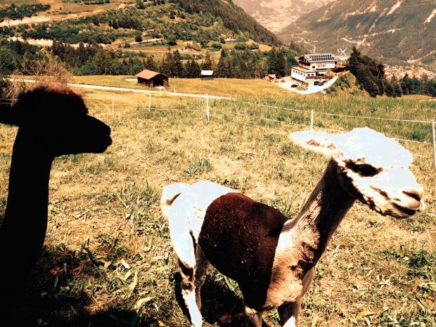 alpacas serfaus fiss ladis wandern kinder texstilkueche